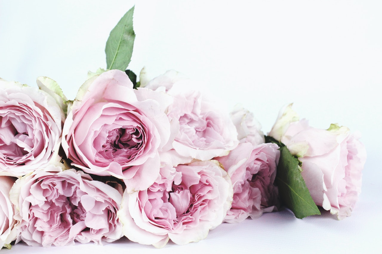 Pink roses laying on their side