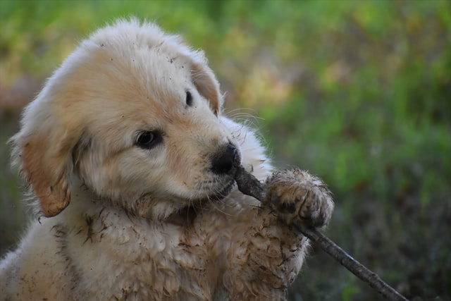 pet dog chewing